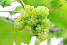 Free Grapevine Stock Photography - 15906472
