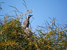 Honeyeater Wattle Bird Royalty Free Stock Photos