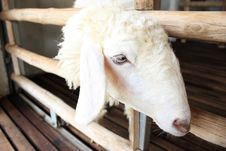 Free A Sheep Stock Images - 15906994