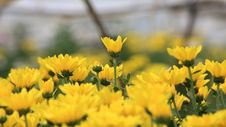 Free Yellow Flower Background Royalty Free Stock Images - 15907679