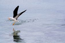 Free Seagull Chasing Off Competition Stock Images - 15908014