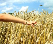 Free Hand In Wheat Royalty Free Stock Photography - 15908017