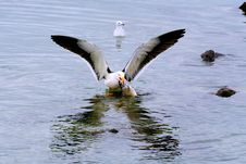 Free Seagull Ready For Takeoff Royalty Free Stock Images - 15908019