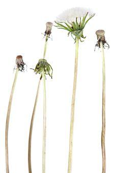 Dandelion Plant Stock Image