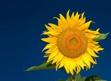 Sunflower On Blue Sky Royalty Free Stock Photos