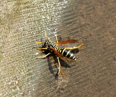 Wasp Sitting On The Water Royalty Free Stock Images