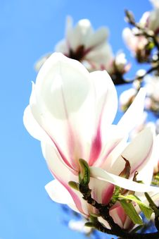 Free Pink Magnolia Tree Blossoms Stock Photos - 15909553