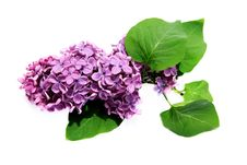 Free Lilac Stock Photography - 15909572