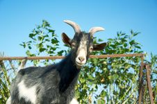 Free A Young Goat Stock Photo - 15909750