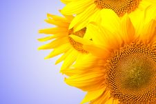 Free Sunflower Isolated On White To Blue Stock Photos - 15909823