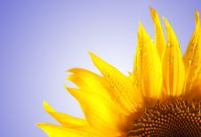 Free Sunflower Isolated On White To Blue Royalty Free Stock Image - 15909836