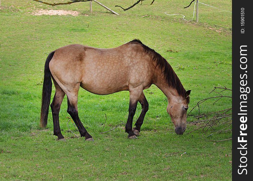 Dun Horse grazing in a meadow