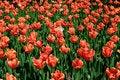 Free Tulips Stock Photo - 15910110