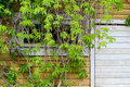 Free Part Of The Wall With Green Ivy. Royalty Free Stock Photo - 15916585