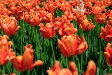 Free Tulips Royalty Free Stock Photography - 15910117