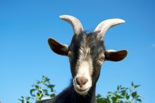Free A Young Goat Royalty Free Stock Photo - 15910135