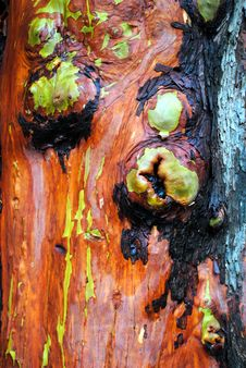 Free Madrona Bark Royalty Free Stock Photo - 15911255