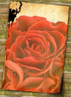 Free Beautiful Rose Stock Images - 15911594