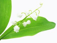 Free Lily Of The Valley Royalty Free Stock Image - 15912946