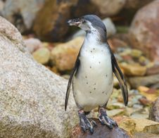 Free Penguin Stock Images - 15913344
