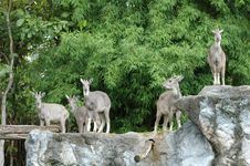 Free Goral Stock Photography - 15913452