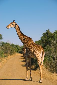 Free Giraffe Royalty Free Stock Photography - 15913967