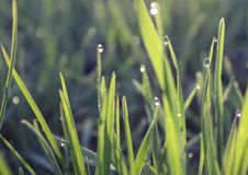 Free Fresh Grass With Dew In Sunrise Royalty Free Stock Photos - 15914938