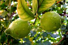 Free Fresh Lemons On The Tree.... Royalty Free Stock Photo - 15914955