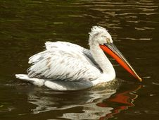 Free Pelican Royalty Free Stock Photo - 15915055
