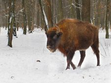 Free Bison Royalty Free Stock Photography - 15915977