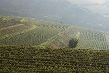 Free Vineyard Royalty Free Stock Image - 15916006