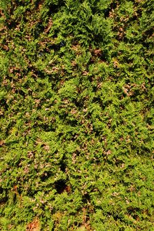 Free Thuja Stock Images - 15916054