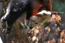 Free Red Panda At Dublin Zoo Stock Photography - 15916532