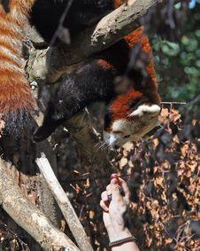 Free Red Panda At Dublin Zoo Royalty Free Stock Photos - 15916538