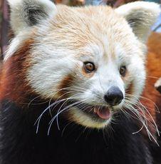 Free Red Panda At Dublin Zoo Stock Images - 15916564