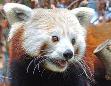 Free Red Panda At Dublin Zoo Stock Image - 15916571
