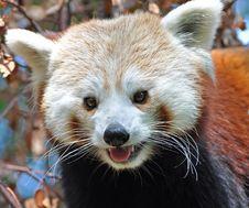 Free Red Panda At Dublin Zoo Royalty Free Stock Images - 15916589