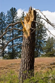 Free Broken Pine Tree Stock Images - 15916594