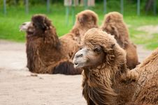 Portrait Of A Beautiful Camel. Royalty Free Stock Photography