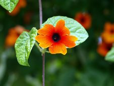 Free Orange Flower Royalty Free Stock Images - 15916879