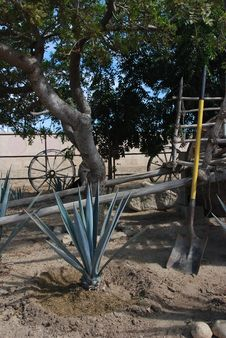 Free Planting Agave Royalty Free Stock Photo - 15918755