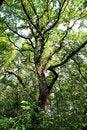 Free Big Oak Stock Photography - 15920542