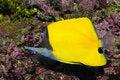 Free Long Nose Butterflyfish Stock Photo - 15922590