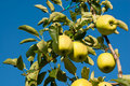 Free Yellow Apples Stock Images - 15924214