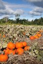 Free Harvest In A Field Of Pumpkins In Early Fall Royalty Free Stock Photo - 15926305