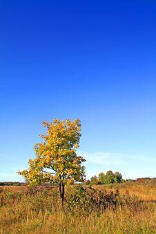 Oak On Autumn Field Stock Photos