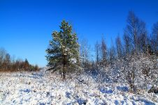 Pine On Winter Field Royalty Free Stock Image