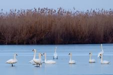 Mute Swans Flock On Ice Royalty Free Stock Images