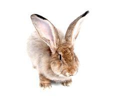 Free Rabbit Royalty Free Stock Photography - 15921247