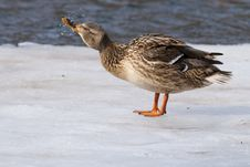 Free Mallard Duck On Ice Stock Photography - 15922042